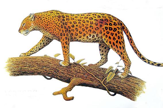 леопард-www